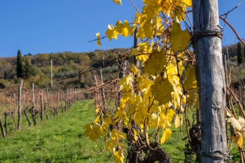 Autumn Vineyard - Vigna d'autunno