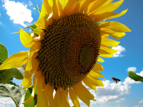 Want a Sunflower? - Vuoi un girasole?