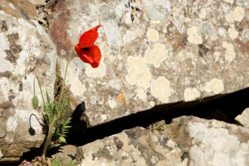 Lonely Poppy - Papavero solitario