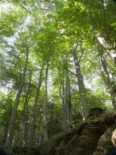 Forest - Foresta
