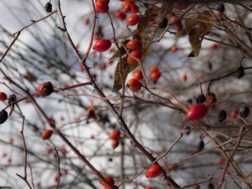 Winter Rose - Rosa d'inverno